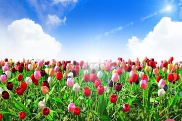 Ý nghĩa và vẻ đẹp của Hoa tulip